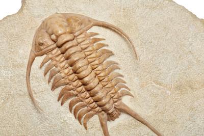 Трилобит Paraceraurus exsul