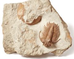 Трилобит Hoplolichas plautini