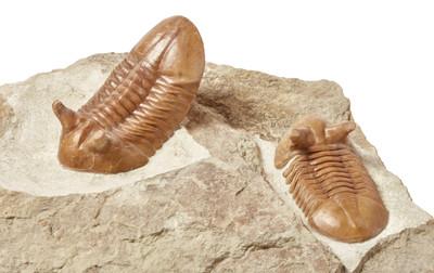 Два трилобита Аsaphus punctatus