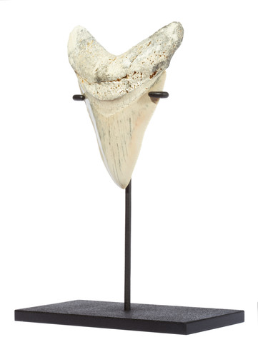 Зуб мегалодона 11,6 см музейного качества на подставке