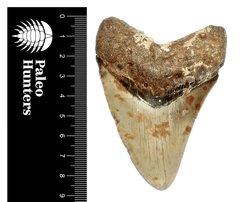 Зуб мегалодона 9,1 см