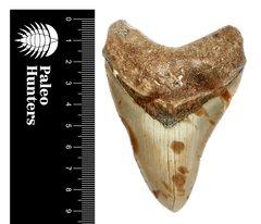 Зуб мегалодона 9,2 см