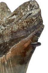 Зуб мегалодона 15 см музейного качества
