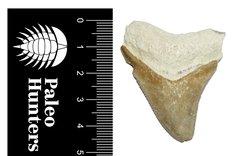 Зуб мегалодона 4,7 см