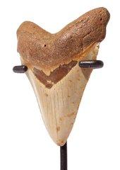 Зуб мегалодона 7,1 см на подставке