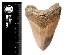 Зуб мегалодона 10,2 см на подставке