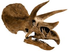 Череп трицератопса Triceratops horridus