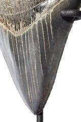 Зуб мегалодона 10,5 см на подставке коллекционного качества