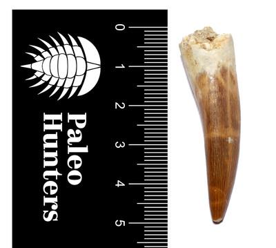 Зуб плезиозавра