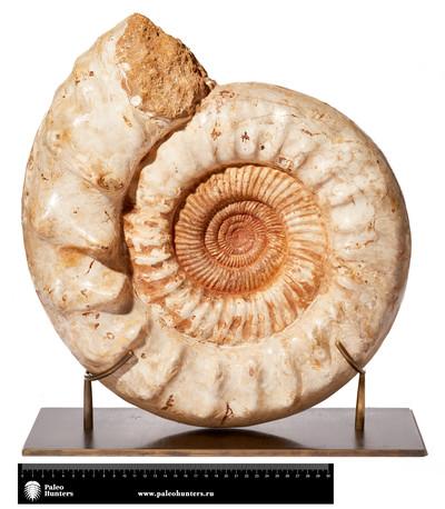 Аммонит  Perisphinctes sp. на латунной подставке