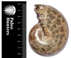 Аммонит Phylloceras sp.