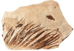 Рыбы Priscacara sp.