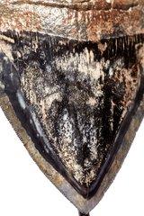 Зуб мегалодона 12 см коллекционного качества на подставке