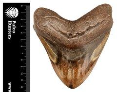 Зуб мегалодона 12,5 см на подставке