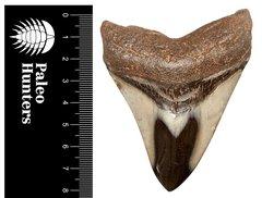Зуб мегалодона 8 см на подставке