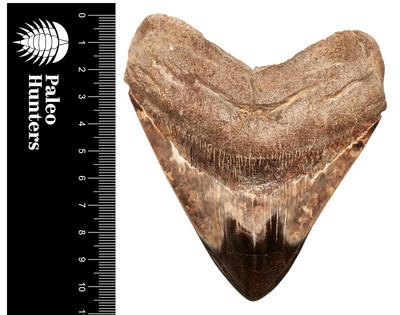 Зуб мегалодона 11 см на подставке