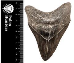 Зуб мегалодона 10,5 см коллекционного качества на подставке