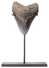 Зуб мегалодона 11,5 см коллекционного качества на подставке