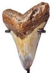 Зуб мегалодона 9,4 см на подставке