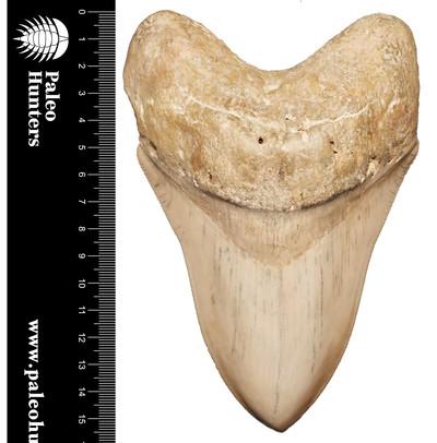 Зуб мегалодона 16 см музейного качества на подставке