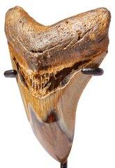 Зуб мегалодона 9,6 см на подставке