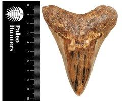 Зуб мегалодона 10,1 см на подставке