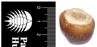 Зуб мозазавра Globidens aegypticus
