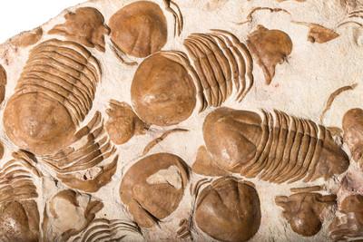 Плита с трилобитами Xenasaphus devexsus