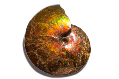 Аммолитовый аммонит Placenticeras sp.