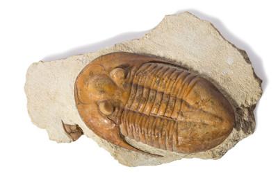 Трилобит Asaphus platiurus