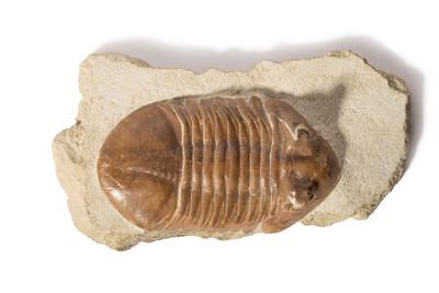 Трилобит Asaphus cornutus