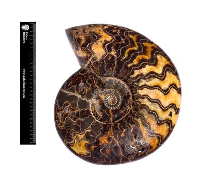 Аммонит Craspedodiscus