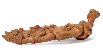 Лапа пещерного медведя