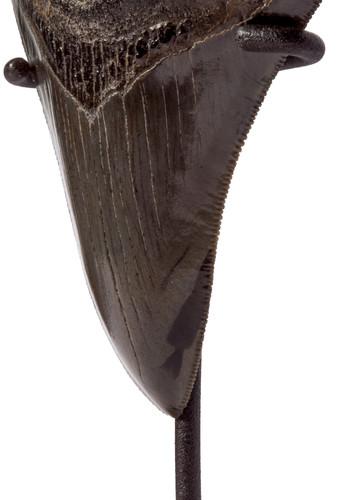 Зуб мегалодона 10,8 см музейного качества на подставке