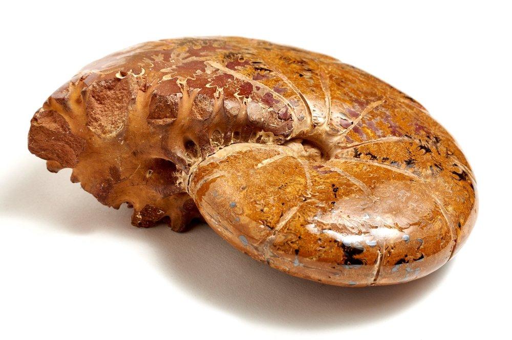 Аммонит Holcophylloceras sp. на подставке