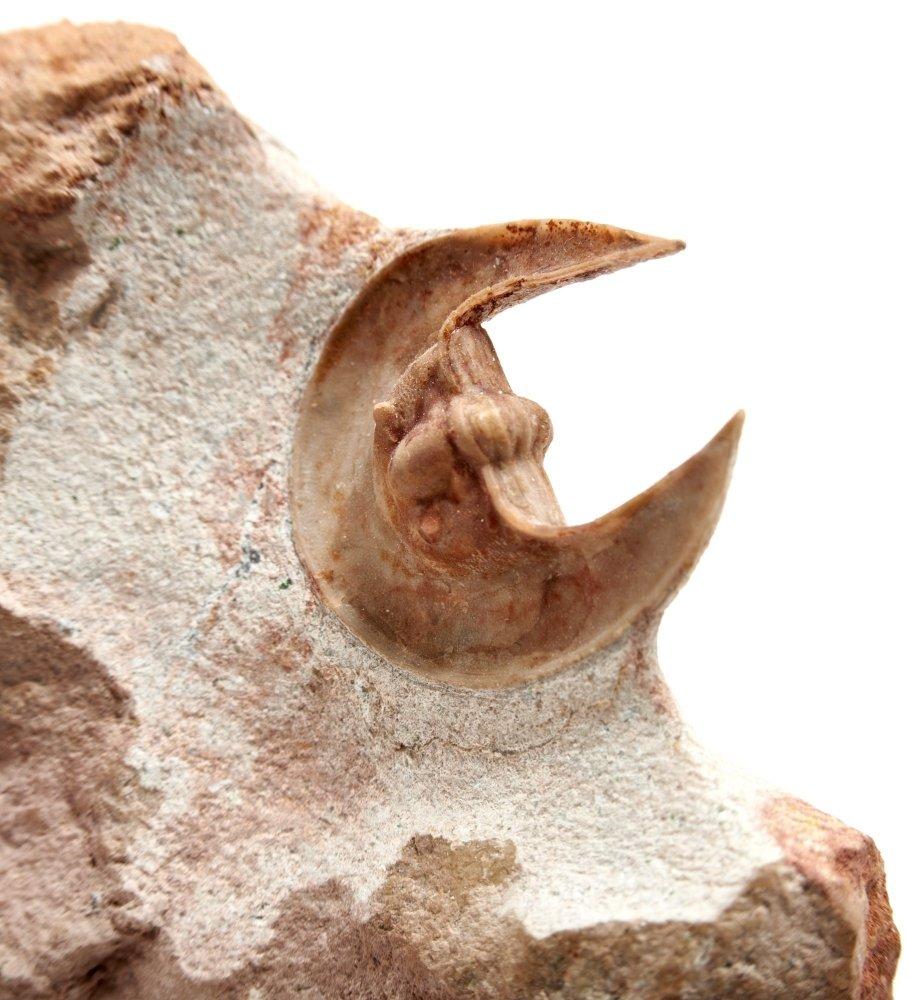 Трилобит Scotoharpes spasskii