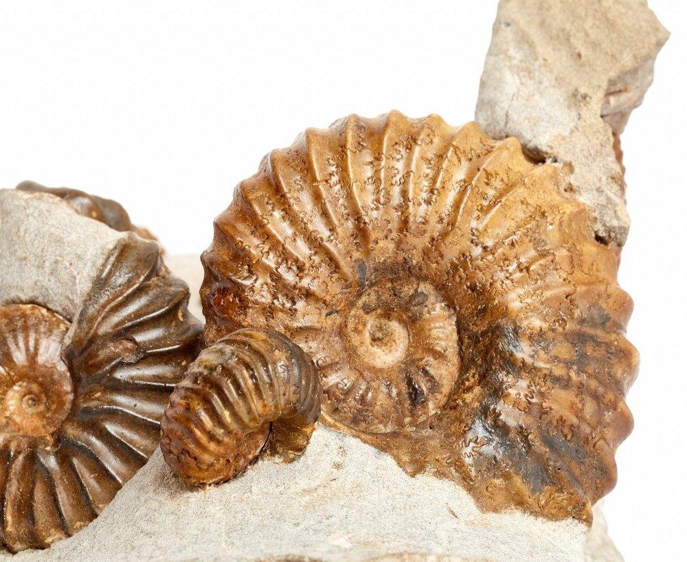 Аммониты Tetrahoplites и Sonneratia