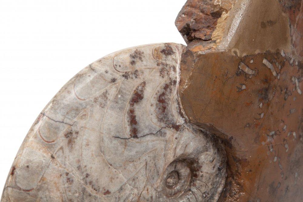 Аммонит Carinoceras galeatum на подставке