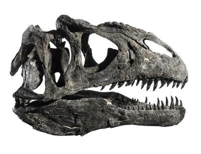 Череп динозавра Allosaurus