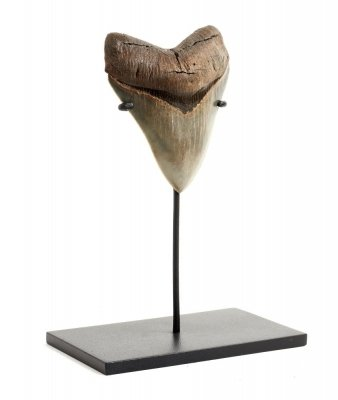Зуб мегалодона музейного качества на подставке