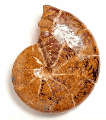 Аммонит Holcophylloceras sp.