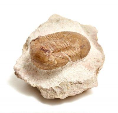 Трилобит Illaenus sinuatus