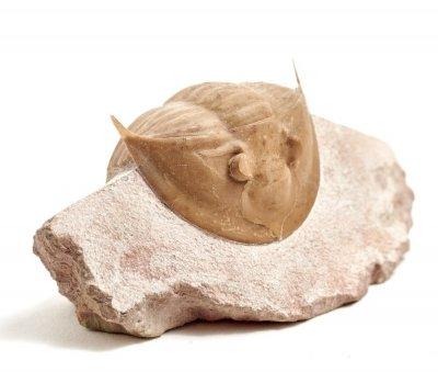 Трилобит Ptychopyge gladiifera
