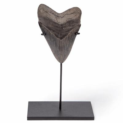 Зуб мегалодона коллекционного качества 13 см