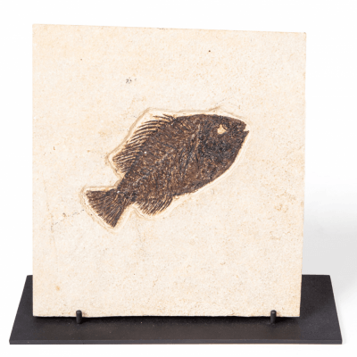Рыба Priscacara sp.
