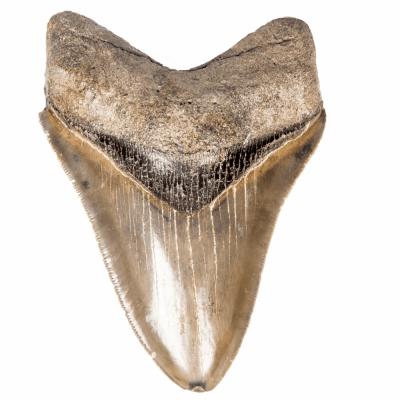 Зуб мегалодона 11 см