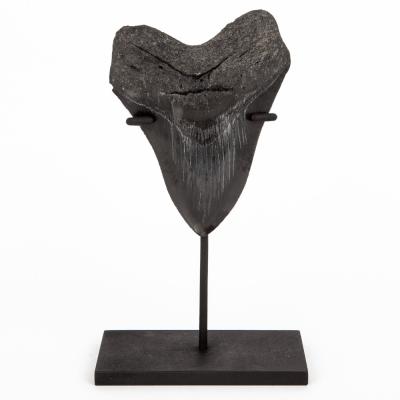 Зуб мегалодона коллекционного качества 11,5 см