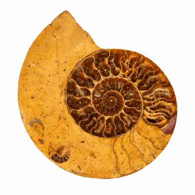 Аммонит Cleoniceras sp.