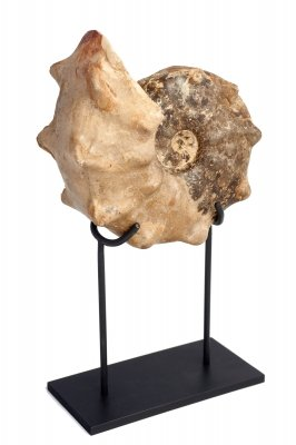 Аммонит Mammites nodosoides