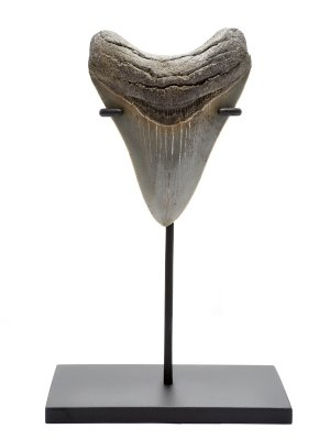 Зуб мегалодона коллекционного качества